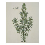 Rosmarinus Officinalis, from 'A Curious Herbal', 1 Posters
