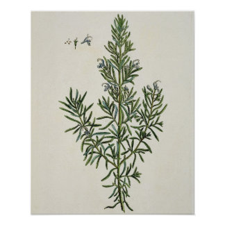 Rosmarinus Officinalis, from 'A Curious Herbal', 1 Poster