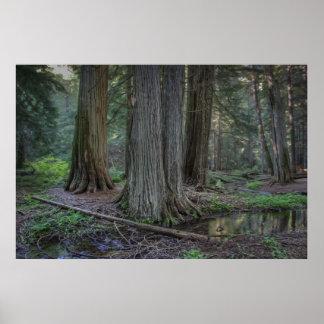 Ross Creek Old Growth Cedar Trees - Montana Print