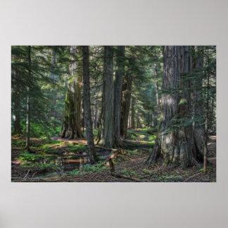 Ross Creek Old-growth Cedar Trees Print