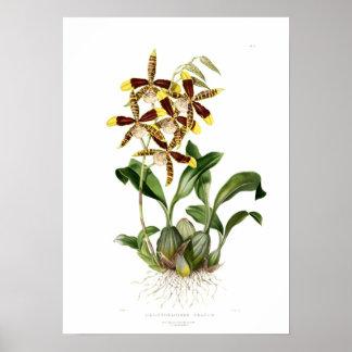 Rossioglossum grande by Miss Drake. Poster