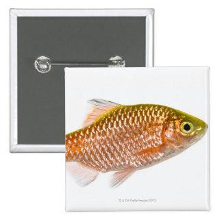 Rosy barb fish (Puntius conchonius) Pinback Button