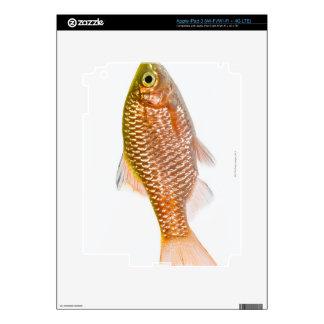 Rosy barb fish (Puntius conchonius) iPad 3 Skins