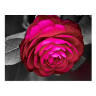 Rosy Camellia Postcard