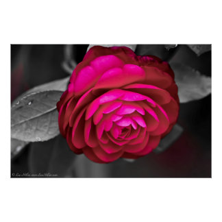 Rosy Camellia Poster