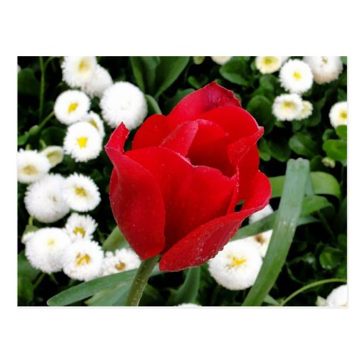 Rosy Red Tulip Postcard