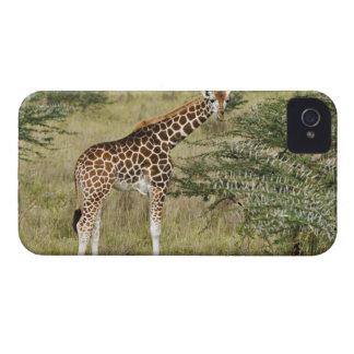 Rothschild s Giraffe eating Lake Nakuru Blackberry Cases