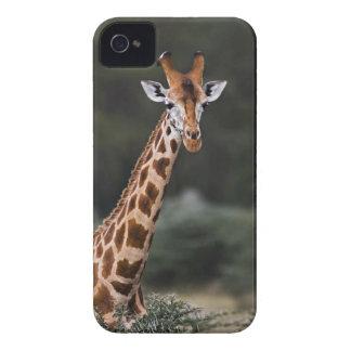 Rothschild s Giraffe Lake Nakuru National Park Blackberry Bold Covers
