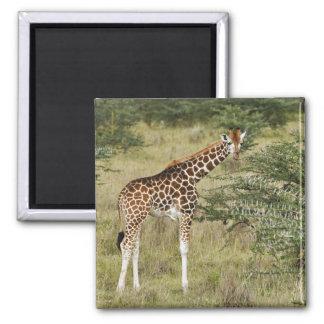 Rothschild's Giraffe eating, Lake Nakuru 2 Inch Square Magnet