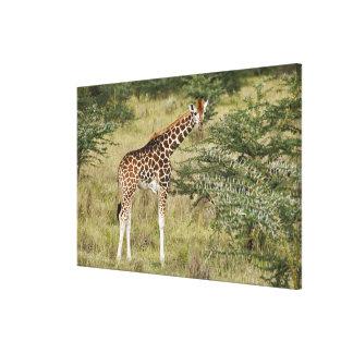 Rothschild's Giraffe eating, Lake Nakuru Canvas Print