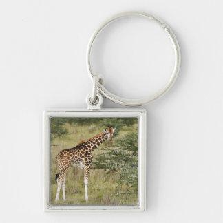 Rothschild's Giraffe eating, Lake Nakuru Keychain