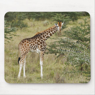 Rothschild's Giraffe eating, Lake Nakuru Mouse Pad
