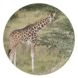 Rothschild's Giraffe eating, Lake Nakuru Plate