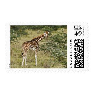 Rothschild's Giraffe eating, Lake Nakuru Postage