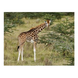 Rothschild's Giraffe eating, Lake Nakuru Postcard