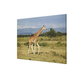 Rothschild's Giraffe, Giraffa camelopardalis Stretched Canvas Prints