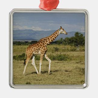 Rothschild's Giraffe, Giraffa camelopardalis Metal Ornament