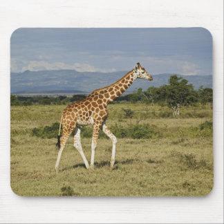 Rothschild's Giraffe, Giraffa camelopardalis Mouse Pad