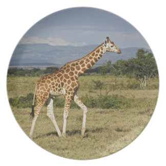 Rothschild's Giraffe, Giraffa camelopardalis Dinner Plate