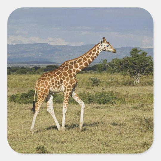 Rothschild's Giraffe, Giraffa camelopardalis Square Sticker