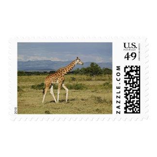 Rothschild's Giraffe, Giraffa camelopardalis Stamp