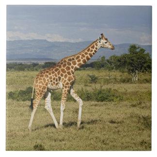 Rothschild's Giraffe, Giraffa camelopardalis Tile