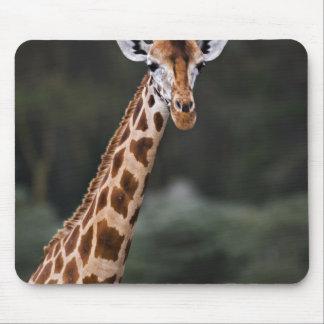 Rothschild's Giraffe, Lake Nakuru National Park, Mouse Pad