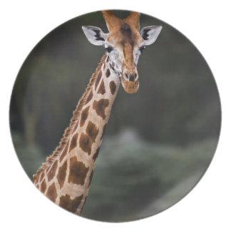 Rothschild's Giraffe, Lake Nakuru National Park, Plates