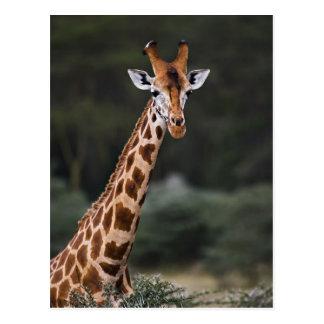 Rothschild's Giraffe, Lake Nakuru National Park, Postcard