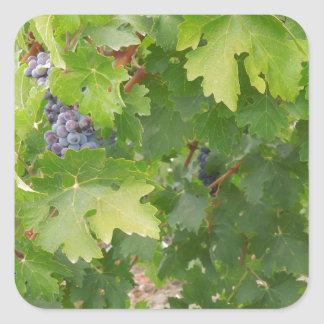 Rotta Dry Farmed Grapes on the Vine Square Sticker