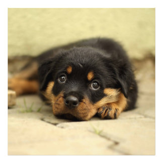 Rottweiler20150901 Photo Print