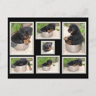 Rottweiler Collage postcard