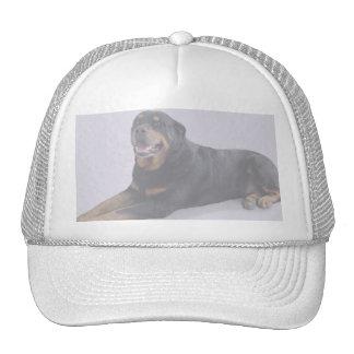 Rottweiler descolorado que coloca en el casquillo  gorros
