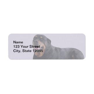 Rottweiler descolorado que coloca en gris etiquetas de remite