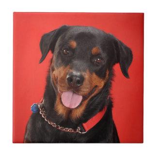 Rottweiler en rojo azulejo cuadrado pequeño
