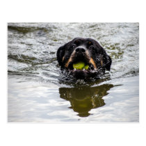 rottweiler in water postcard
