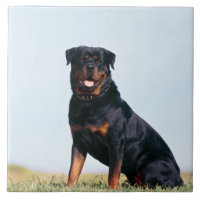 Rottweiler Portrait Ceramic Photo Tile