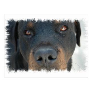 Rottweiler Postcard