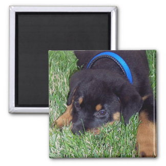 rottweiler pup. 2 inch square magnet