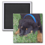 rottweiler pup. fridge magnet