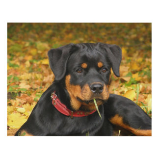 Rottweiler Pup Lying On The Ground In Forest Panel Wall Art