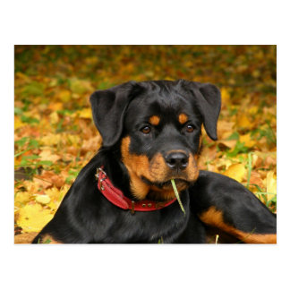 Rottweiler Pup Lying On The Ground In Forest Postcard