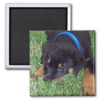 rottweiler pup. magnet