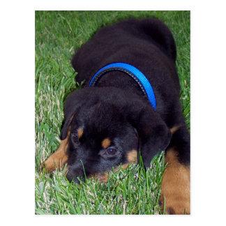 rottweiler pup. postcard