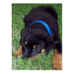 rottweiler pup. postcards