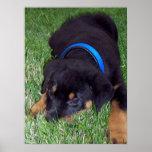 rottweiler pup. poster