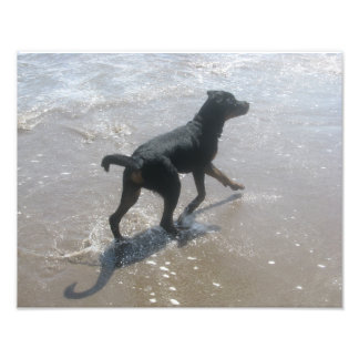 Rottweiler puppy beach ocean  waves Nova Scotia Photo Print