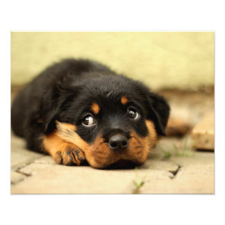 Rottweiler puppy dog curious about life photo print