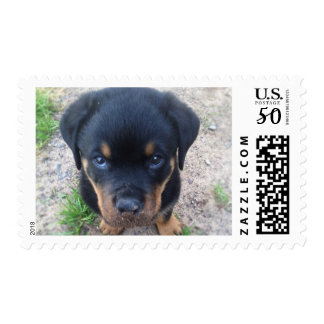 rottweiler puppy guilty face! postage