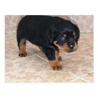 Rottweiler Puppy Looking Embarassed Postcard